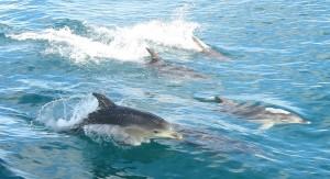 dauphins nager