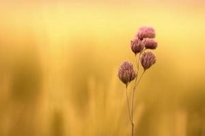 fleur blé